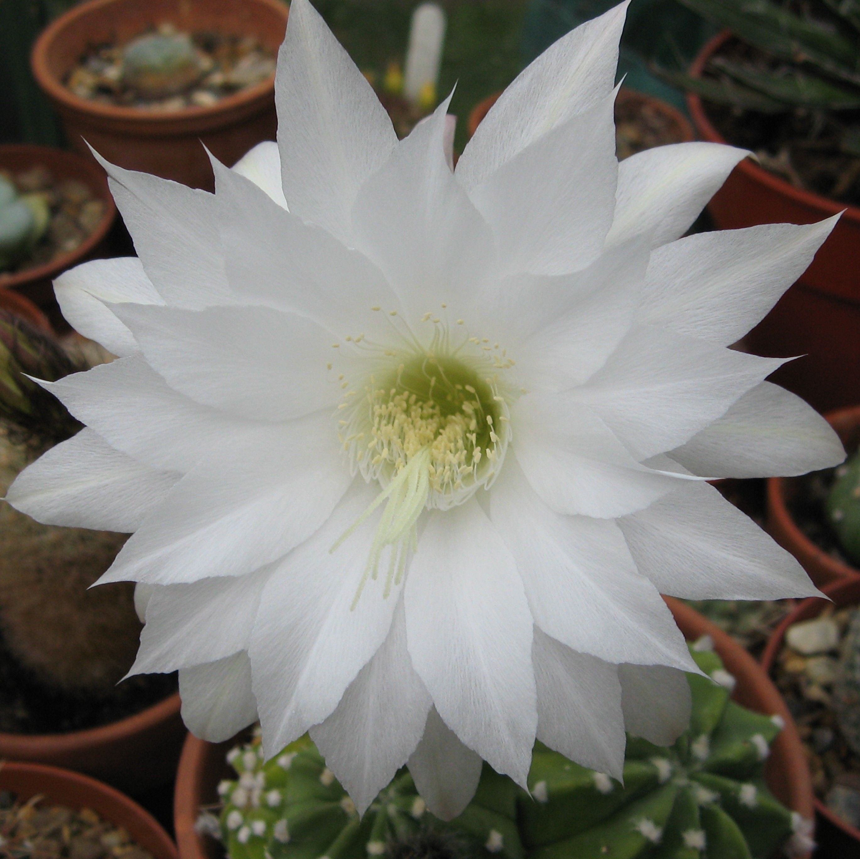 Echinopsis Subdenudata A Common Species With Large White Flowers