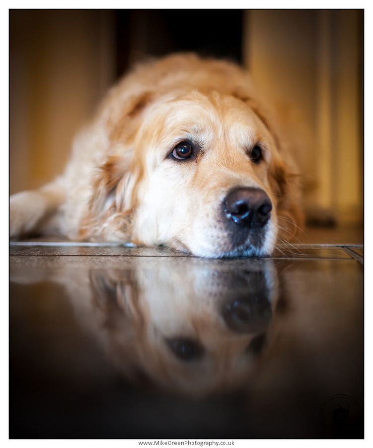 A Dog S Life By Micheal Green Dogs Golden Retriever Baby Dogs