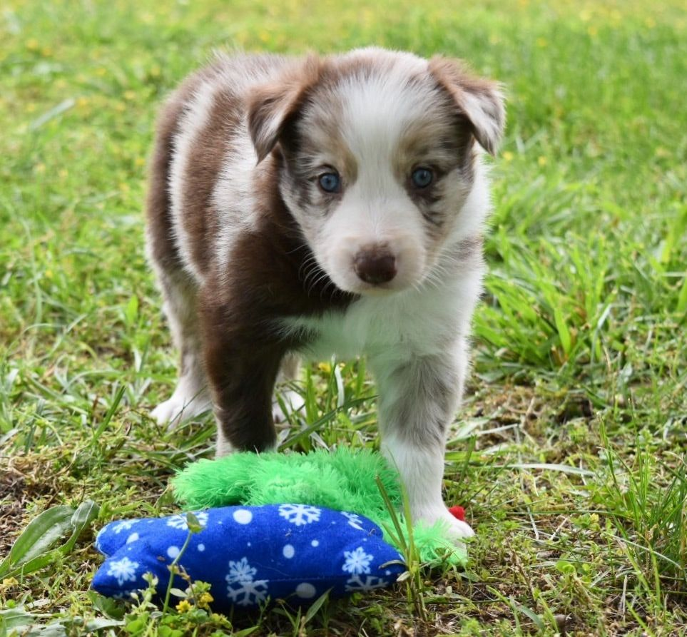 Venti is a red merle Border Collie puppy. (With