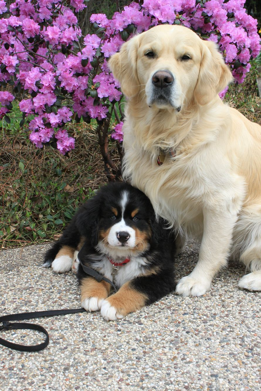 New Photo Bernese Mountain Dogs Golden Retriever Style Being A
