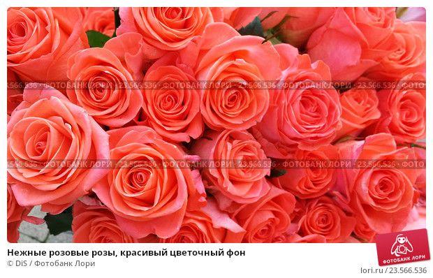Kupit Foto Nezhnye Rozovye Rozy Krasivyj Cvetochnyj Fon C Dis