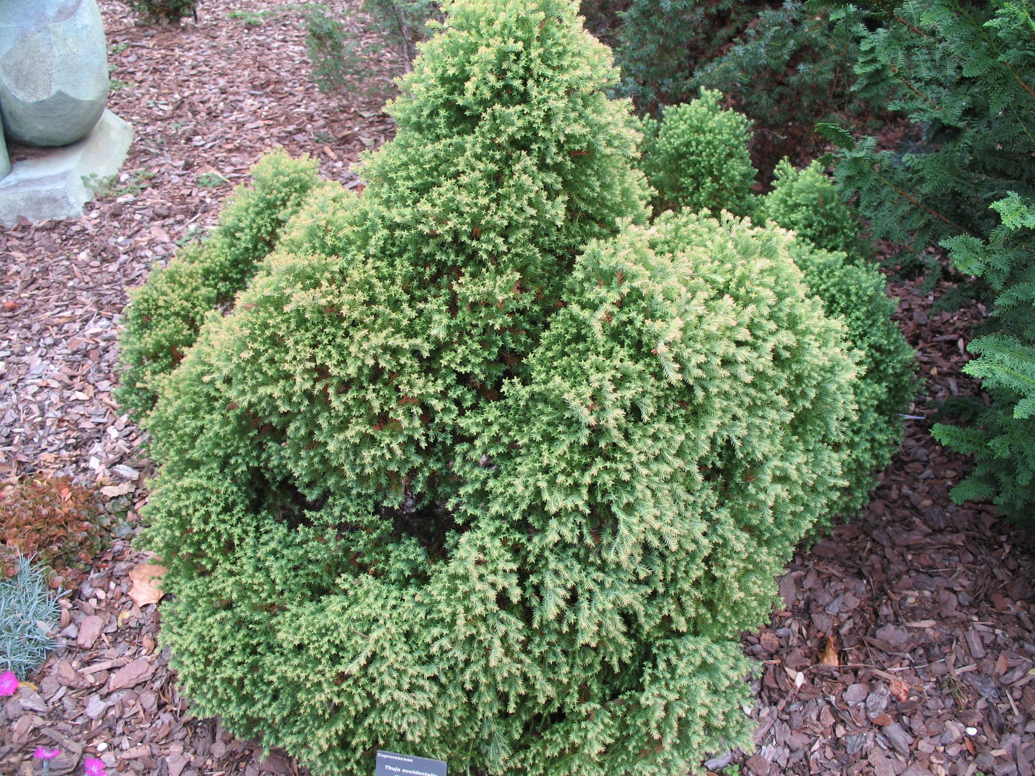 Thuja Rheingold Thuja Occidentalis Rheingold This Is A Dome Shaped Arborvitae That
