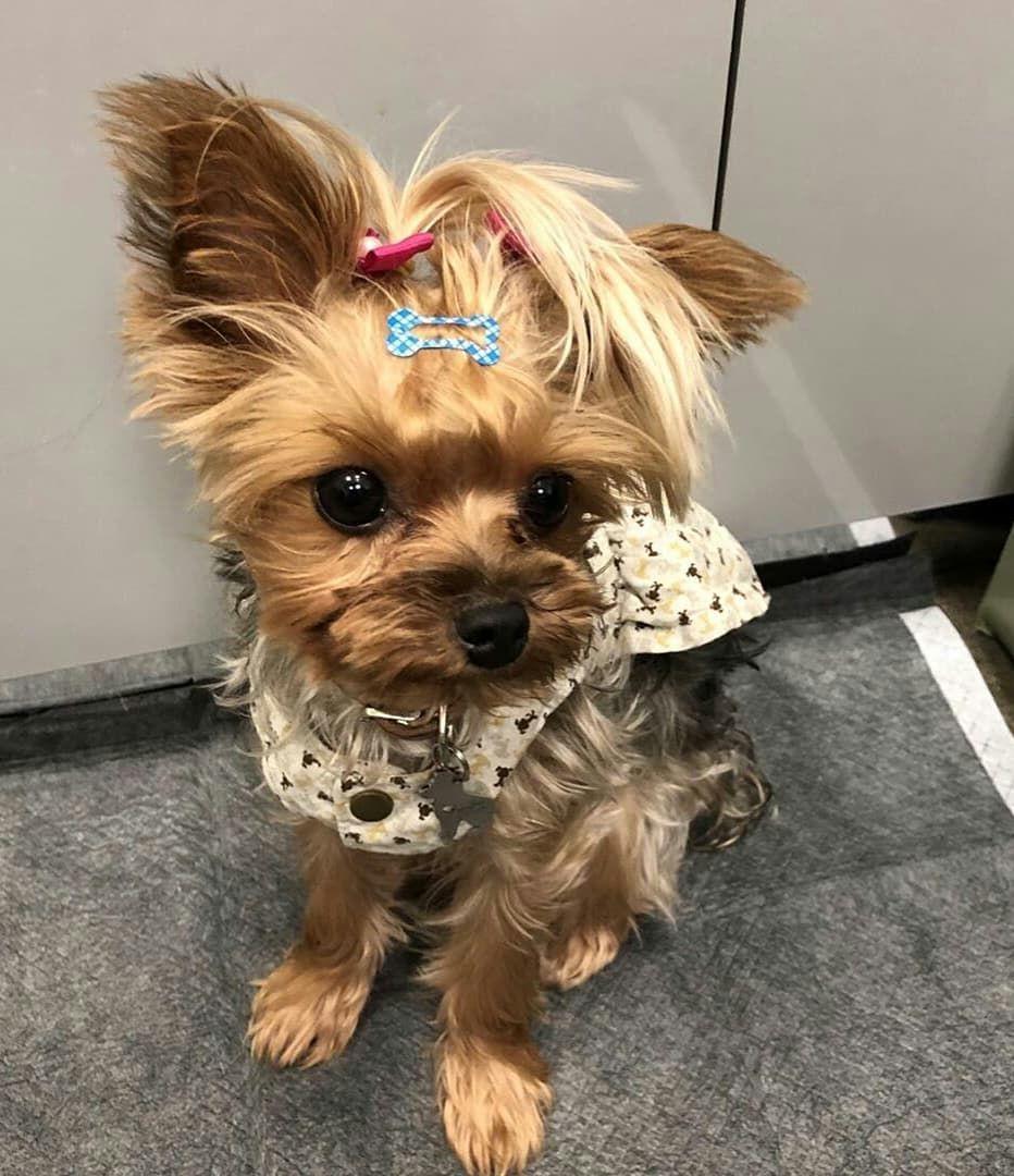 Yorkshire Chien D Appartement Dressage Chien Chiot Mignon Couleur Beagle Meilleur Chien Pets Dogs Animals