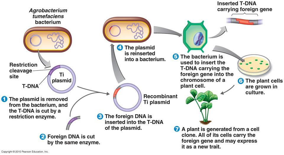 how to build plasmid with gene of interest