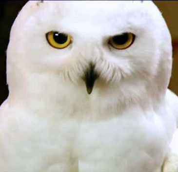 Hedwig (b. before early 1991 - 27 July 1997) was Harry Potter's pet Snowy Owl (Bubo scandiacus). She was a gift to Harry on his eleventh birthday from Rubeus Hagrid, in 1991. Owls are used by wizards to deliver mail but Hedwig was also an important companion as Harry was initiated into the wizarding world, and continued to be one of his closest companions until her death in the Battle of the Seven Potters in 1997.