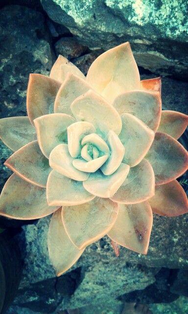 Mom' succulent. ♡