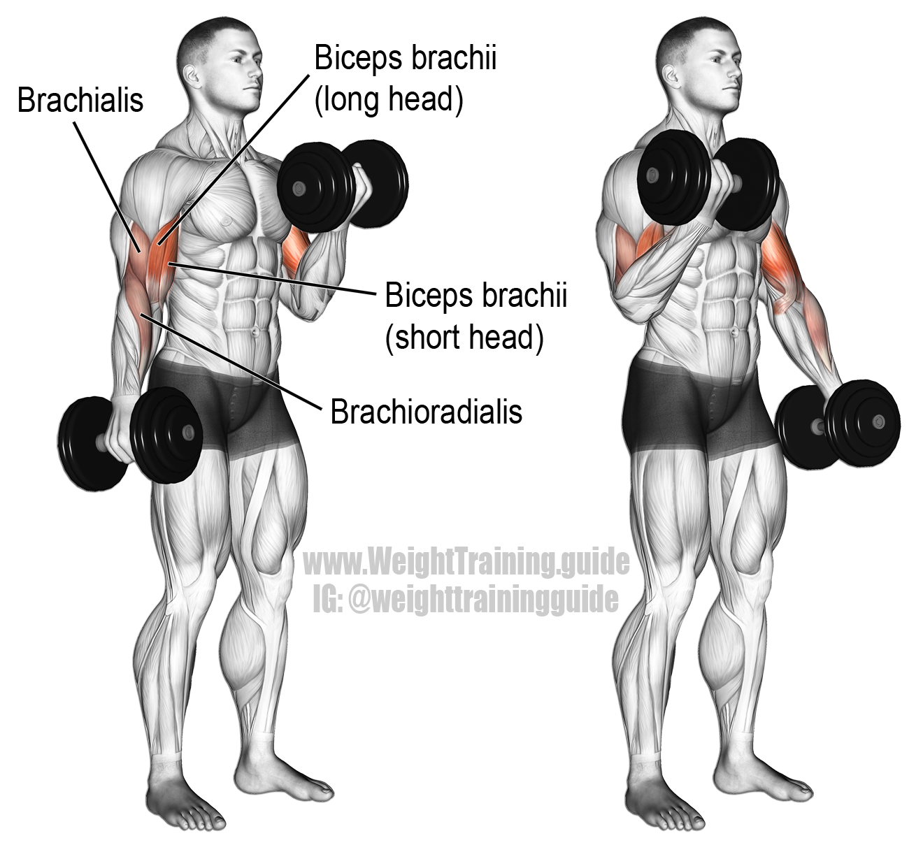 Dumbbell Exercises Without A Bench: Dumbbell Curl Exercise Instructions And Video