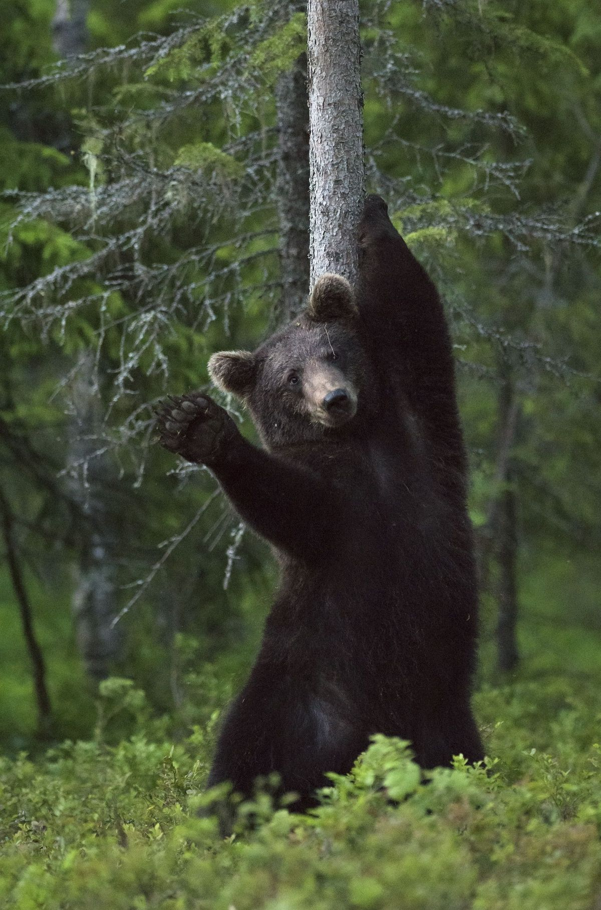 The week in wildlife in pictures Bear pictures