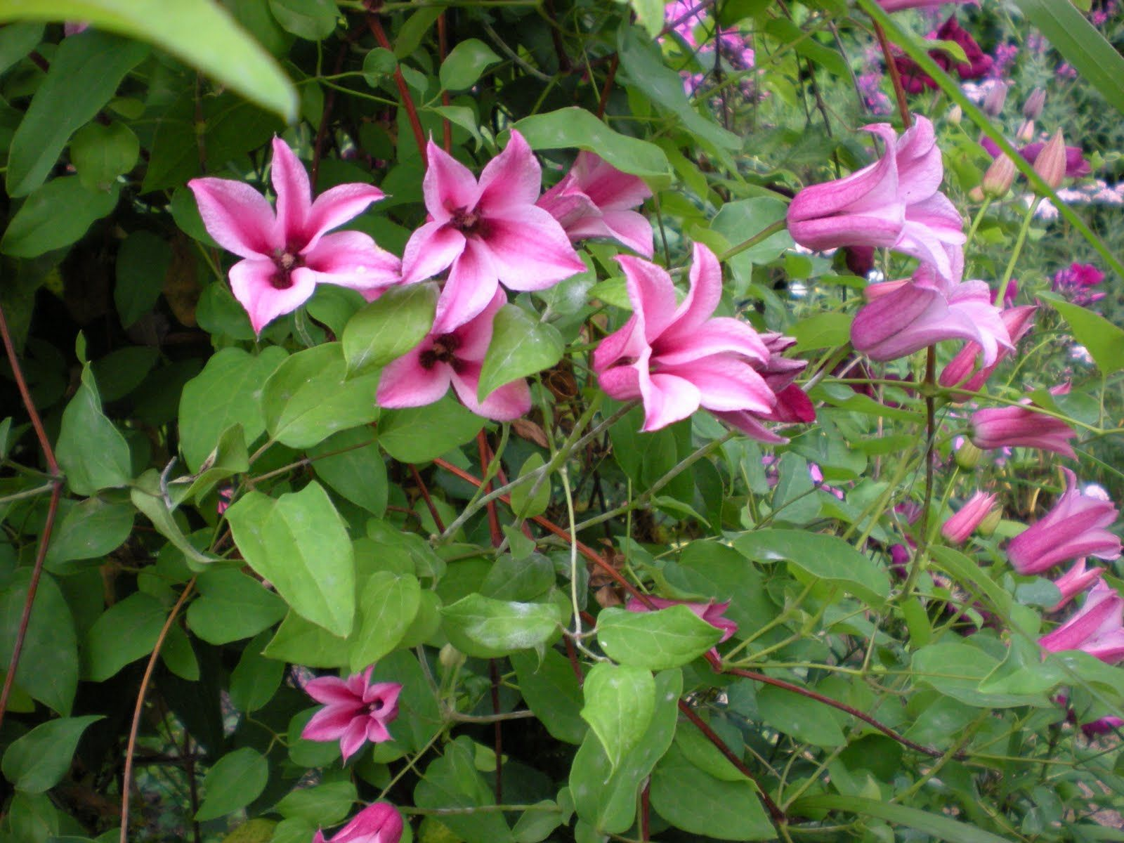Clematis Texensis Duchess Of Albany Clematis H10 20 Full