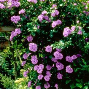 Angel Face Climbing Rose A Lavender Lilac Climbing