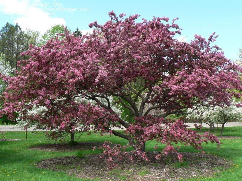 Plantfiles Picture 7 Of Flowering Crabapple Adams Malus Flowering Crabapple Flowering Trees Crab Apple