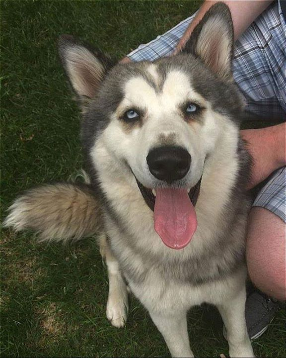 Is This Your Dog Roseville Alaskan Husky Unknown Gender Date