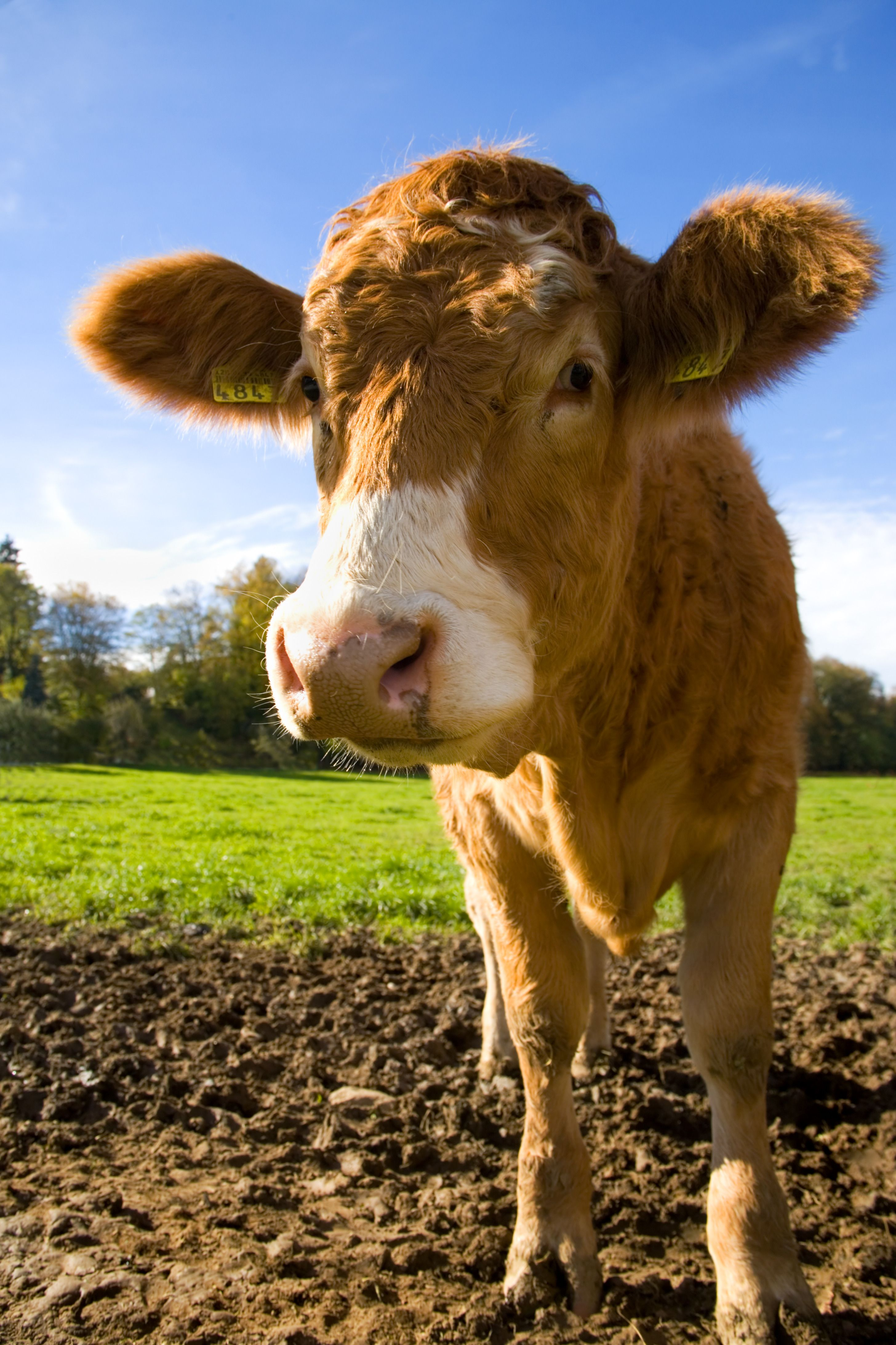 Pin by Stacey Hicks on Cows Animal farm plot, Farm