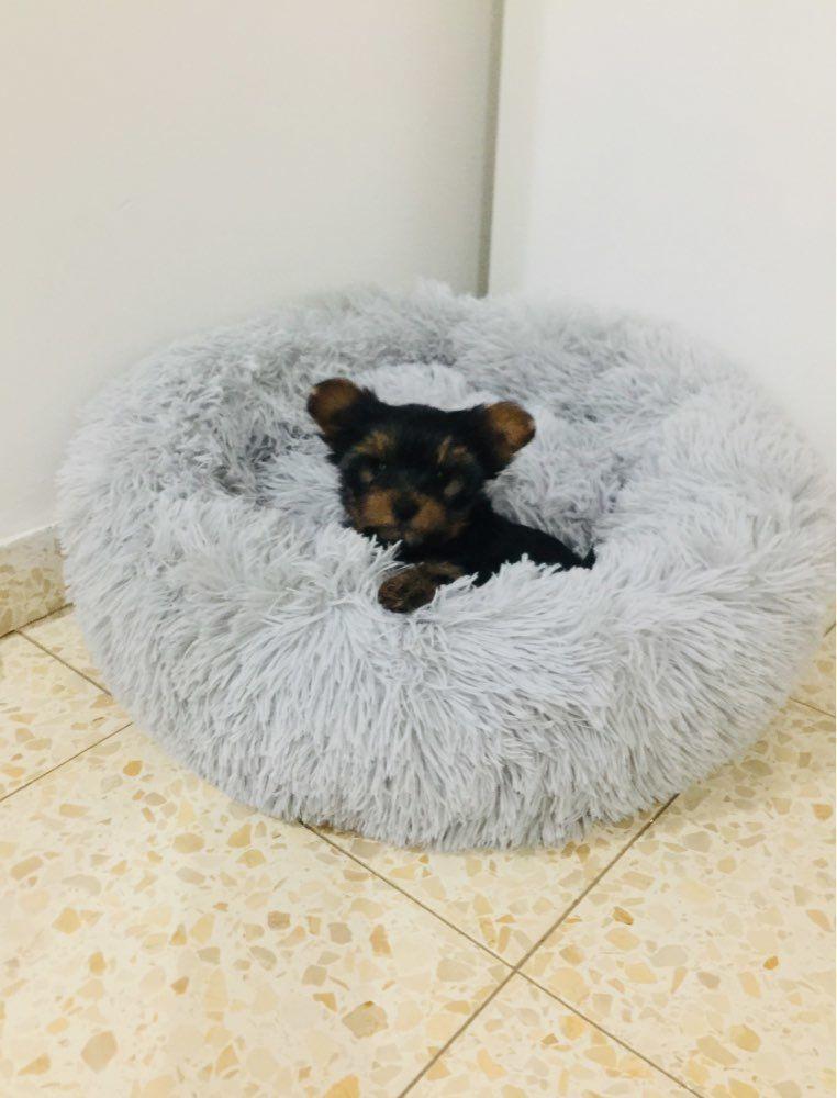Cute Yorkie Puppy Enjoys The Heavenly Sac Dog Bed Dog Accounts