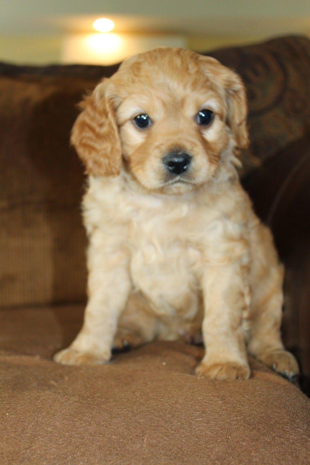 Golden Cavadoodle Puppies Cavadoodle Puppies Cutest Puppy Ever