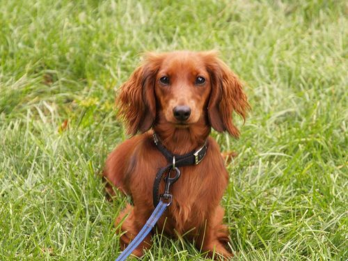 Long Haired Dachshund Essex Ct By Tomhensr Via Flickr Long