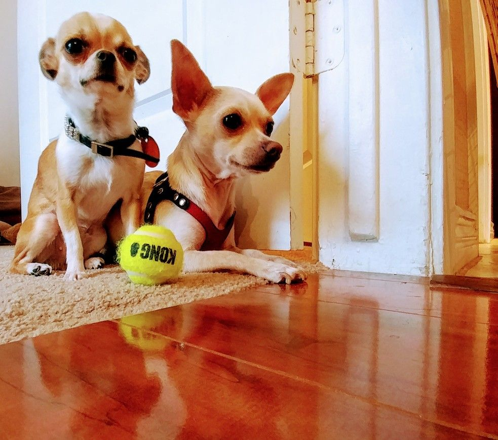 Pear Head Chihuahua Pictures