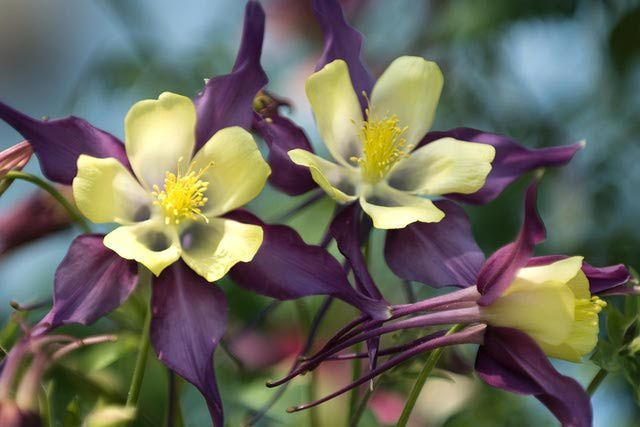 Learn the Facts about Columbine Flowers | Attracting Birds ...