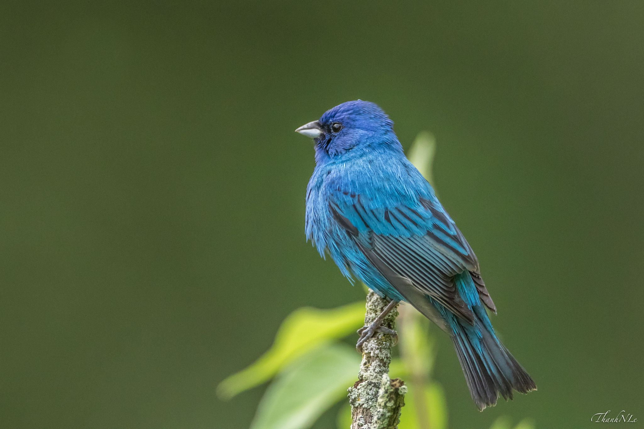 Indigo Bunting by Anthony Le on 500px