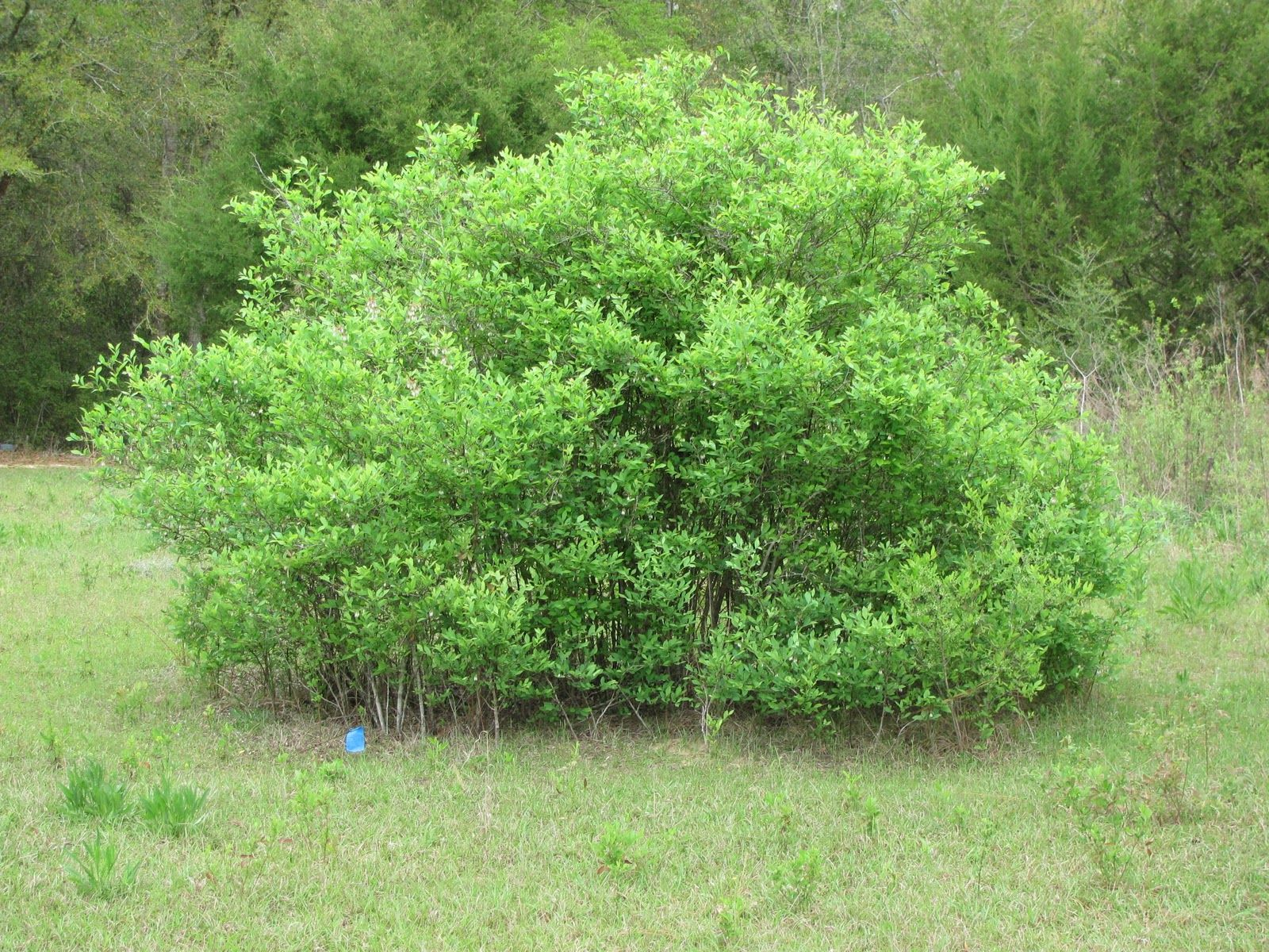 Bushes google search bushes shrubs and plants for Garden shrubs