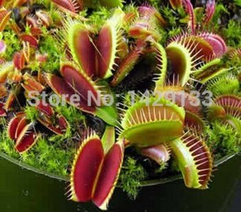 Free shipping Dionaea Muscipula Giant Clip Venus Flytrap Seeds 50PCS Insectivorous seed Garden Plant Seeds Bonsai Family Potted