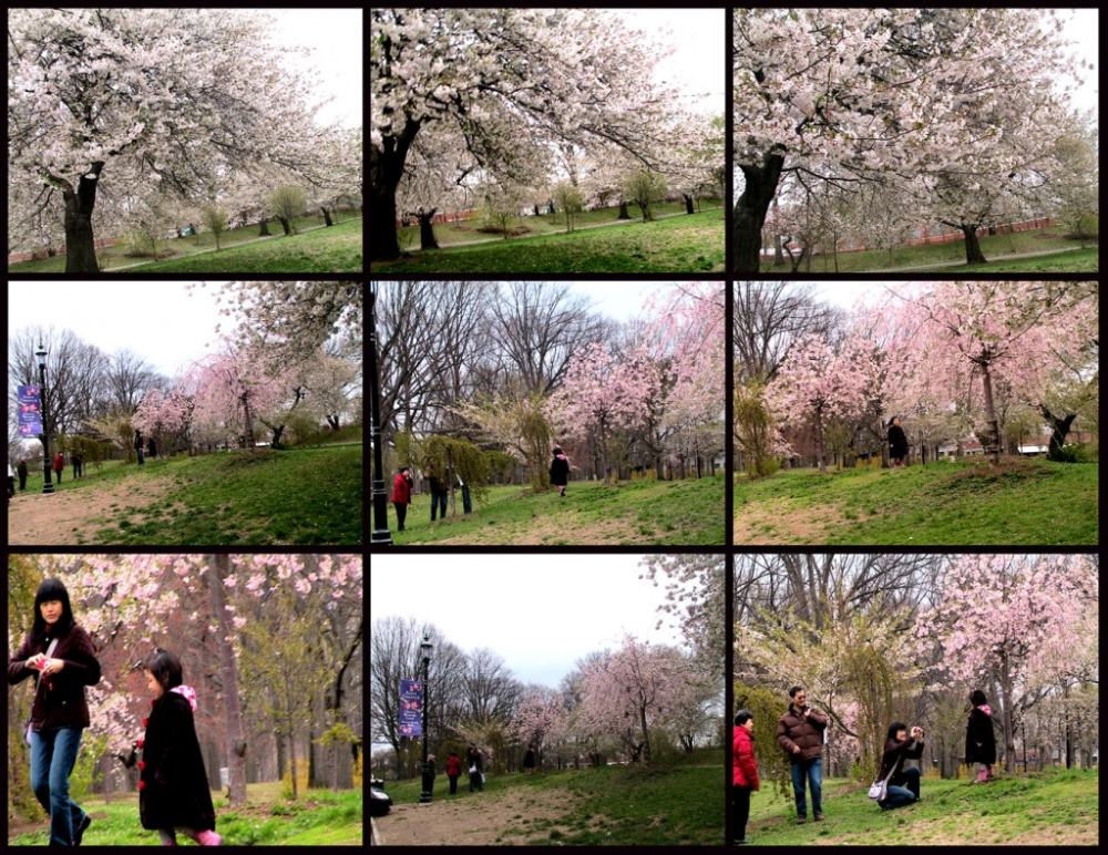 Remembering Cherry Blossoms At Branch Brook Park Newark Nj On Earth Day Of 2020 Ingpeaceproject Com In 2020 Brook Park Cherry Blossom Newark