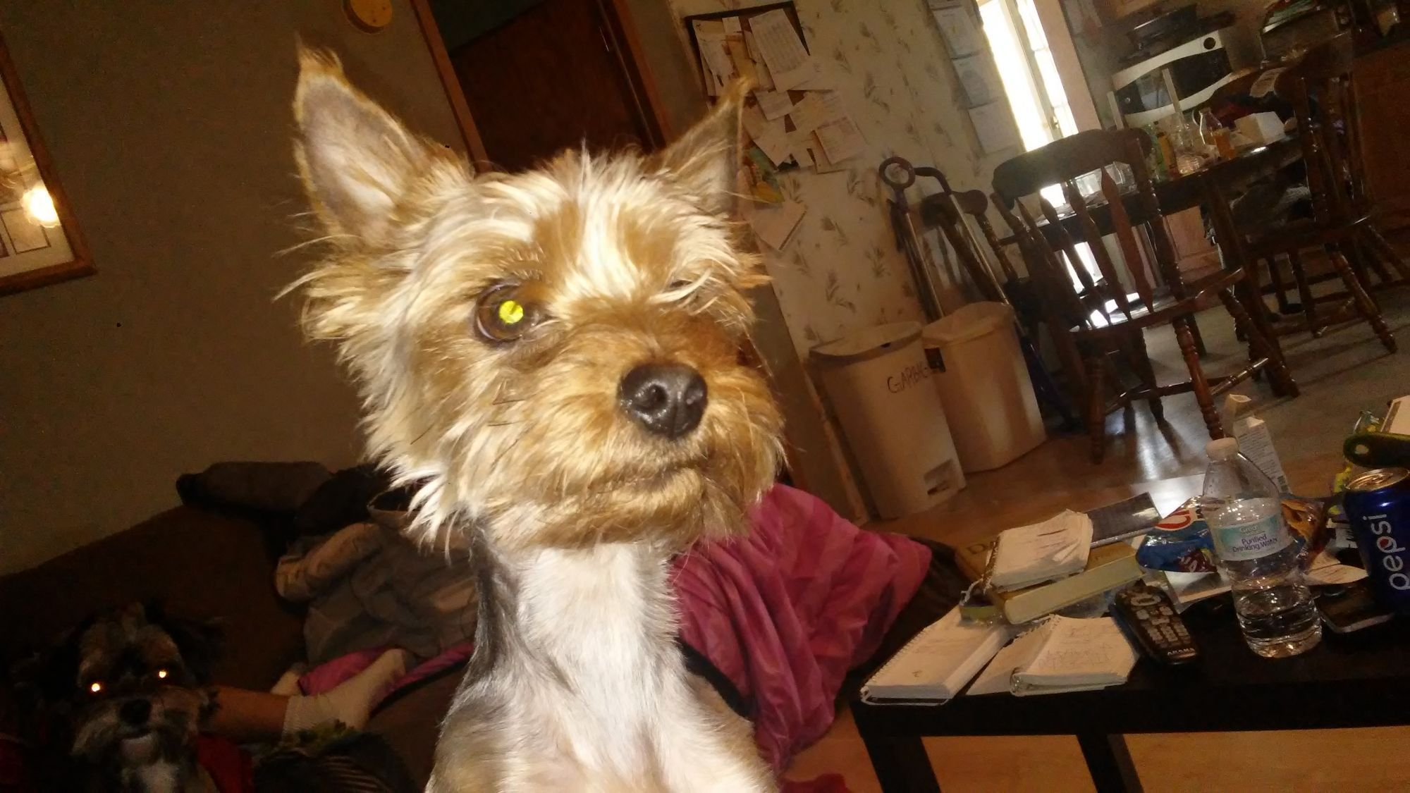 Purebred Yorkshire Terrier Male For Stud For Sale Dogs Paper Shop Free Classifieds Yorkshire Terrier Dogs Pure Bred