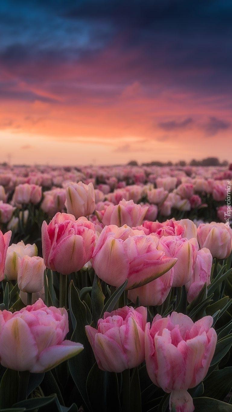 Pole Rozowych Tulipanow Tapeta Na Telefon Wallpaper Nature Flowers Flower Phone Wallpaper Flower Aesthetic