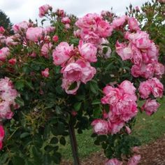 Flower carpet pink splash tree rose roses and climbing roses flower carpet pink splash tree rose mightylinksfo