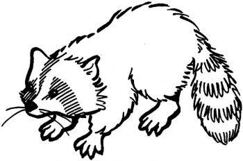 Waschbär Animal Coloring Pinterest Waschbär Malvorlagen Und