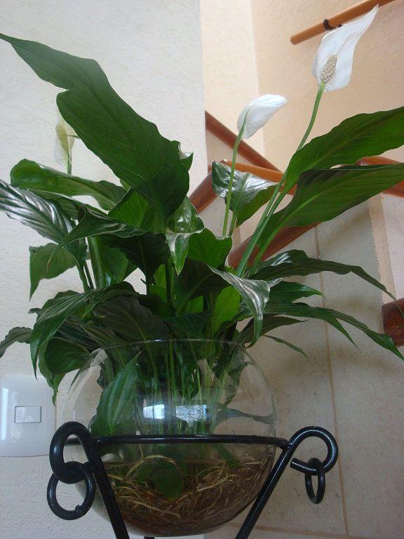Plantas de interior en jarrones con agua flores purple for Plantas ornamentales para interiores
