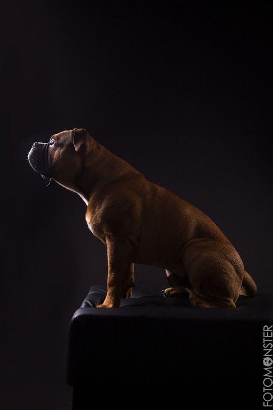 Ap Calisto Continental Bulldog Male Www Asgards Pride Com Continental Bulldog Bulldogge Bullmastiff