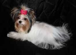 Biewer Yorkie For Sale Ontario Google Search Biewer Yorkie