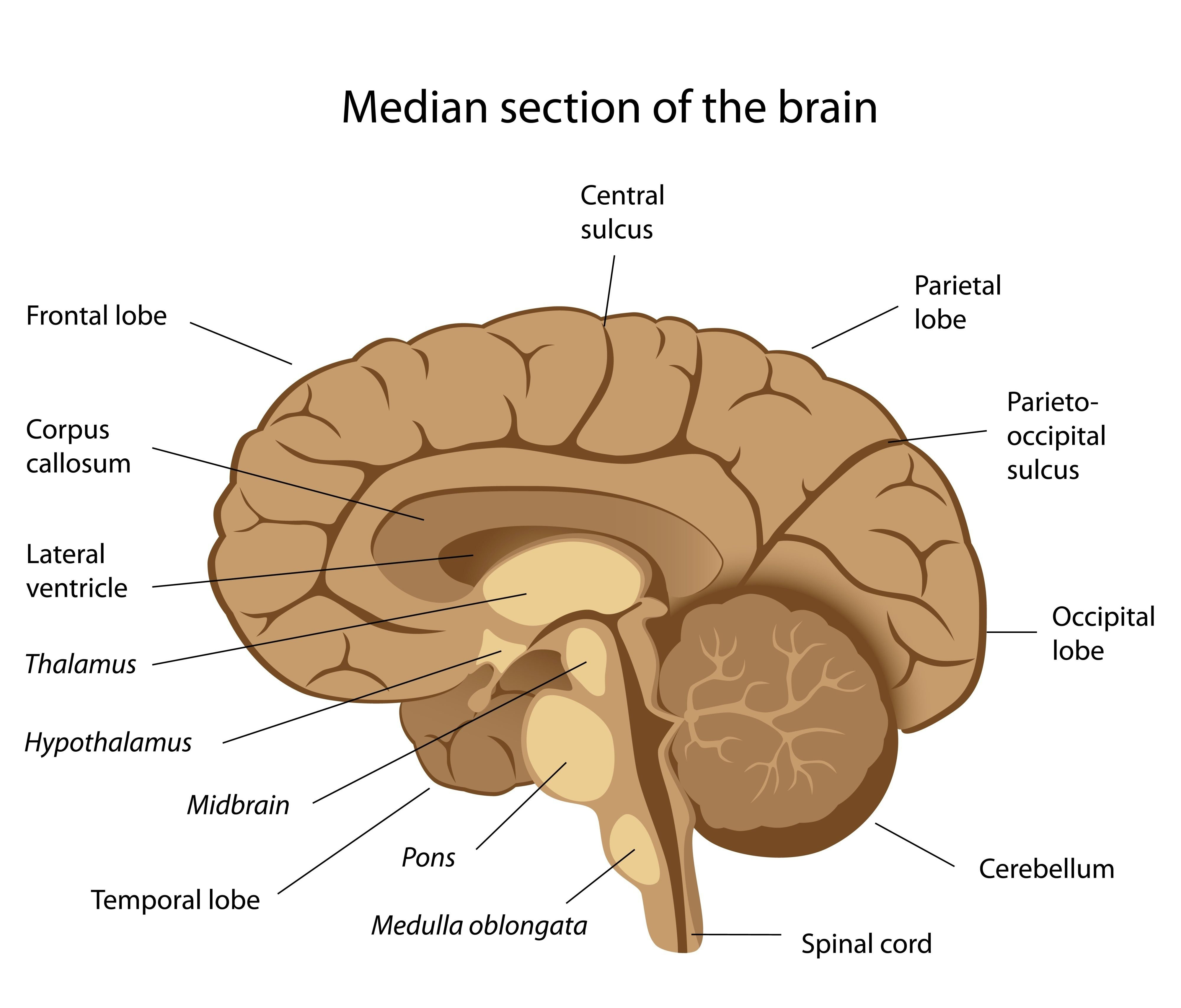 Sagittal Section Of Human Brain Labeled Sagittal View Of