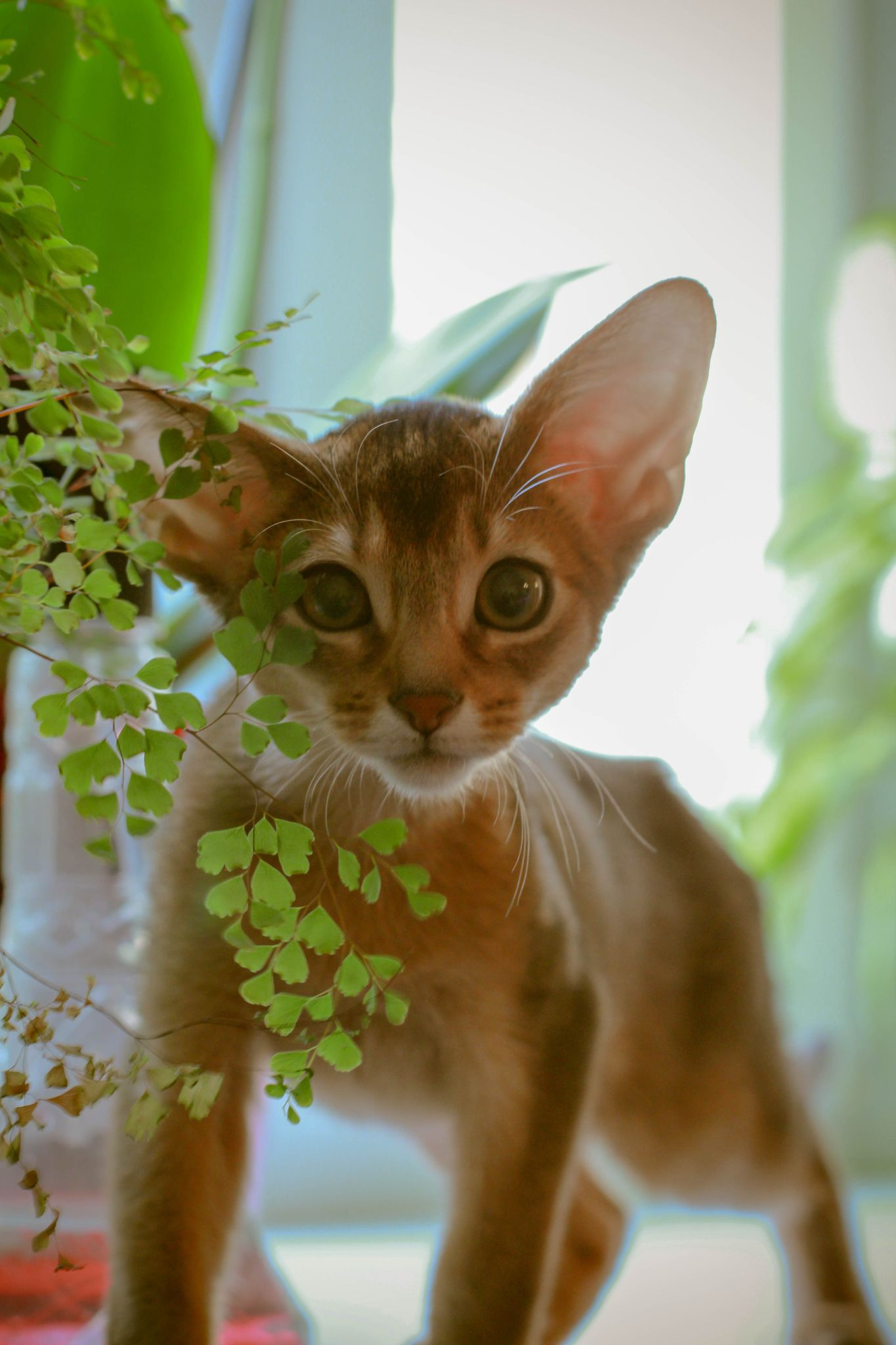Котенок | Devon Rex Cat | Pinterest | Abyssinian, Cat and Egyptian mau