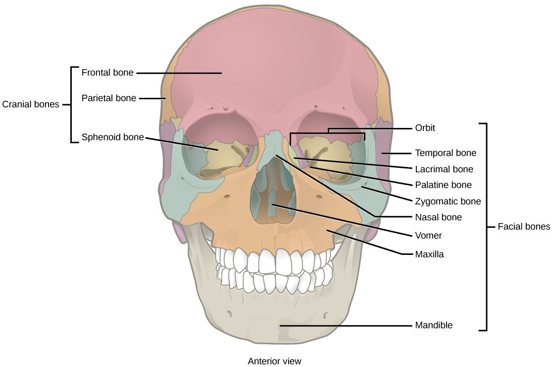 parietal bone function parietal bone function human axial skeleton biology for majors ii [ 1115 x 743 Pixel ]