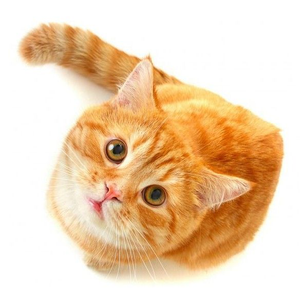 Cat Png 976 900 Png Pinterest Liked On Polyvore Featuring Cat And Kitten Cats Animals Cats And Kittens