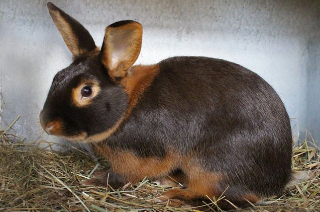 Tan Rabbit Everything You Need to Know Rabbit breeds