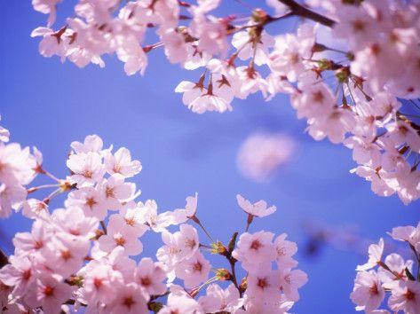 Cherry Blossoms And Blue Sky Photographic Print Allposters Com Cherry Blossom Background Cherry Blossom Wallpaper Cherry Blossom Pictures Blue cherry blossom wallpaper
