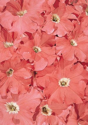 Grandiflora Ruffled 3½ Salmon Colored Flowers