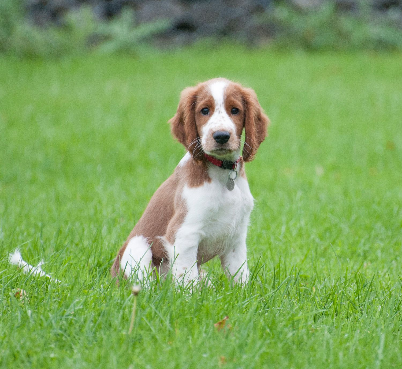 Shaka 2 1 2 Months Old Welsh Springer Spaniel Springer Spaniel Puppies Super Cute Animals