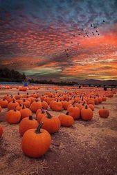 A pumpkin harvest sunset PhotoLynn Bauer A pumpkin harvest sunset PhotoLynn Bauer