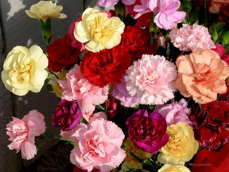 Top 10 Pretty Flowers To Plant This Summer Top Inspired Carnation Flower Flower Seeds Flower Delivery