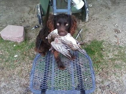 MaxR Boykins North Carolina Boykin Spaniel Breeders
