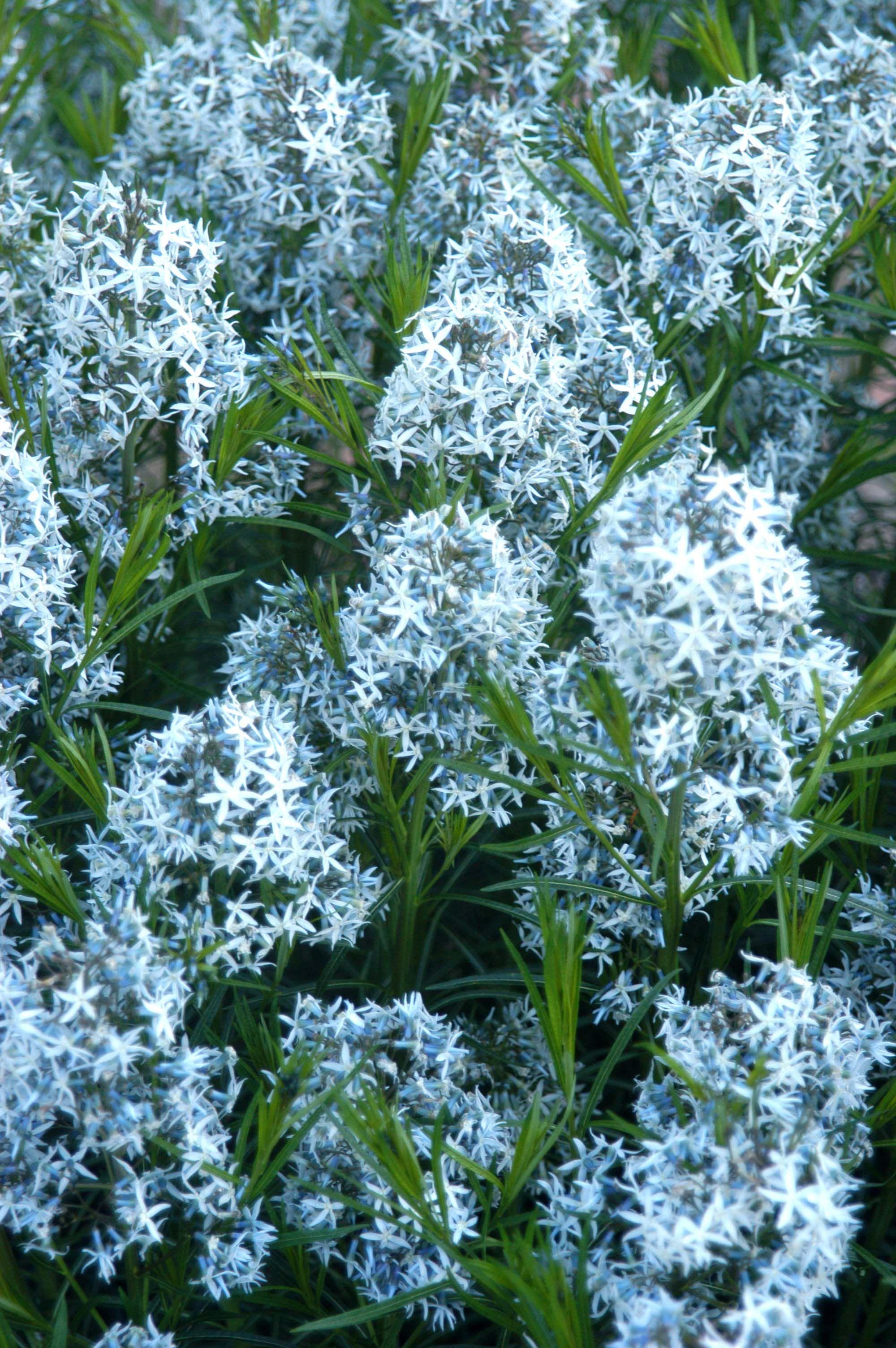 Amsonia Arkansas Blue Star Tall 36 Perennial With
