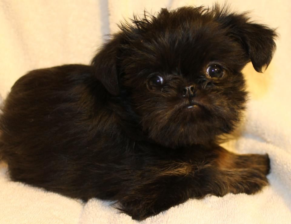 My dream girl!  Black and tan brussels griffon