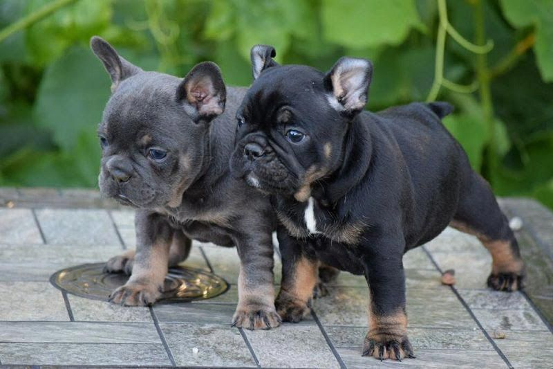 Purebred French Bulldog Price Range How Much Do French Bulldog
