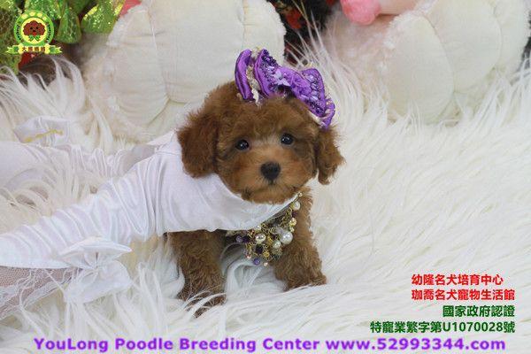 Youlong Poodle Breeding Center International Delivery Poodle