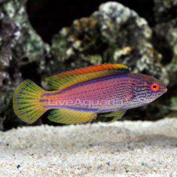 Lineatus Fairy Wrasse Cirrhilabrus Lineatus Wrasse Fish Marine Aquarium