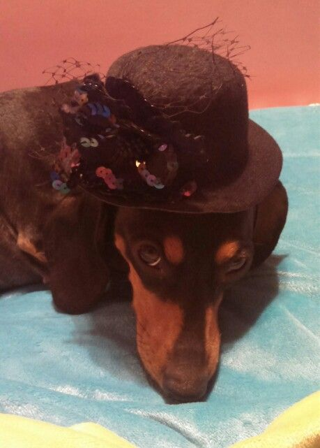 Ms Hoodoo On Fashion Doxie Dogs Dachshund Doxie